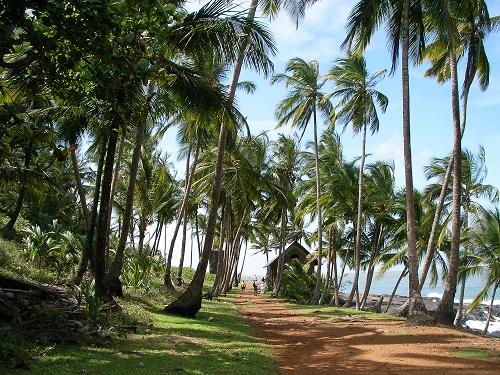 Oil Palm Tree
