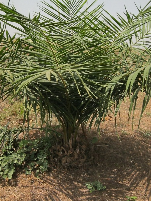 Young Oil Palm